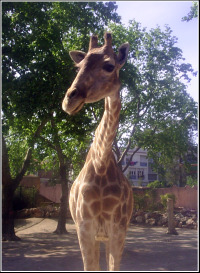 Lisbon Zoo Girafe.