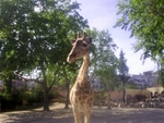 Lisbon Zoo Giraffe.