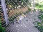 Lisbon Zoo Tiger.
