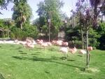 Lisbon Zoo Flamingo.